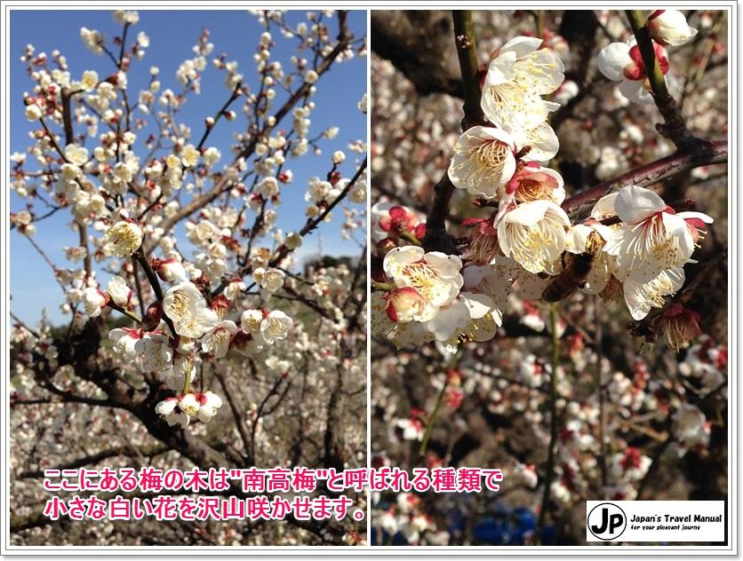 minabe_plumforest_03_jp