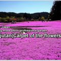carpet of flowers-01-2_en