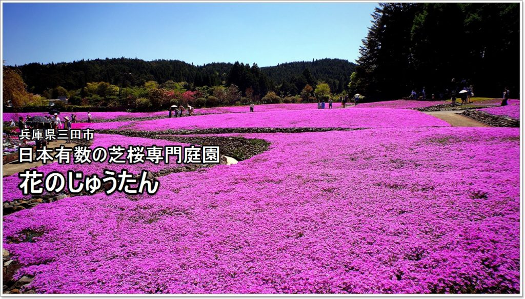 carpet of flowers-01_jp