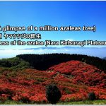 Information of the bloom condition of azaleas at Katsuragi Kogen.