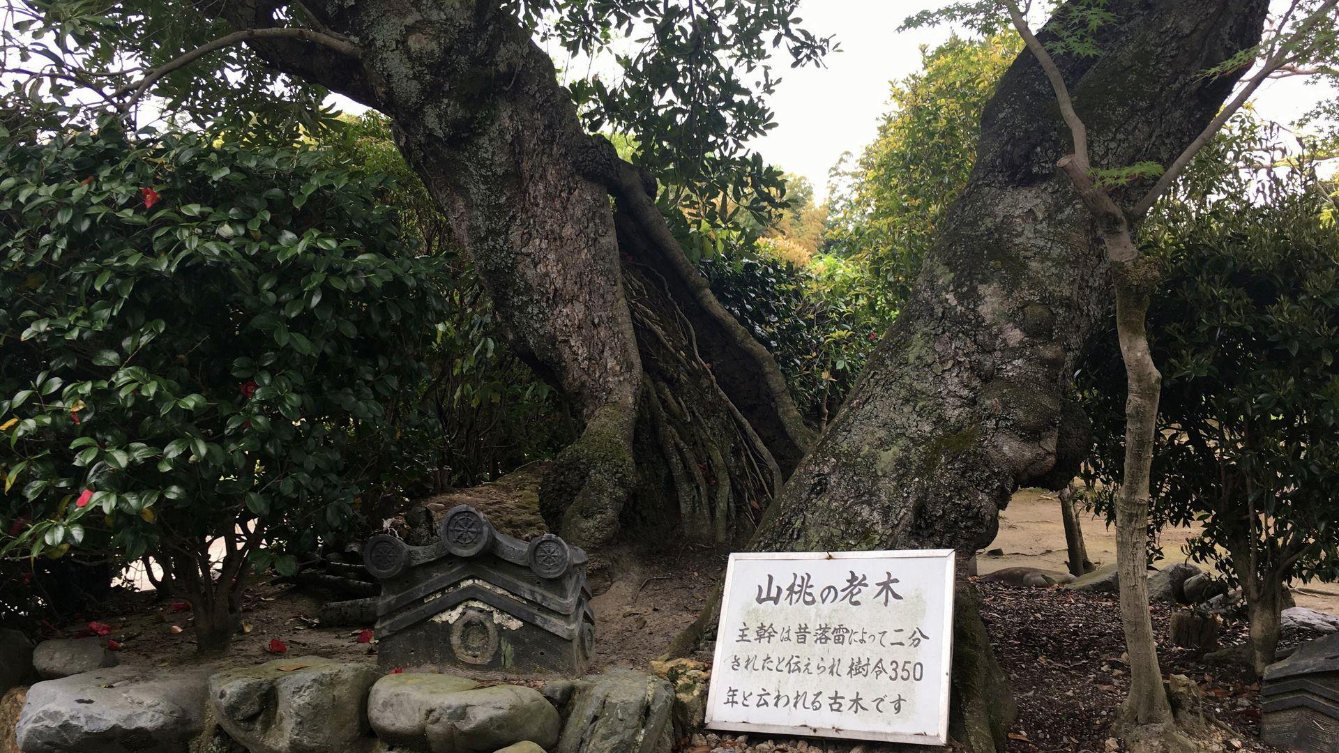 勧修寺の山桃の老木