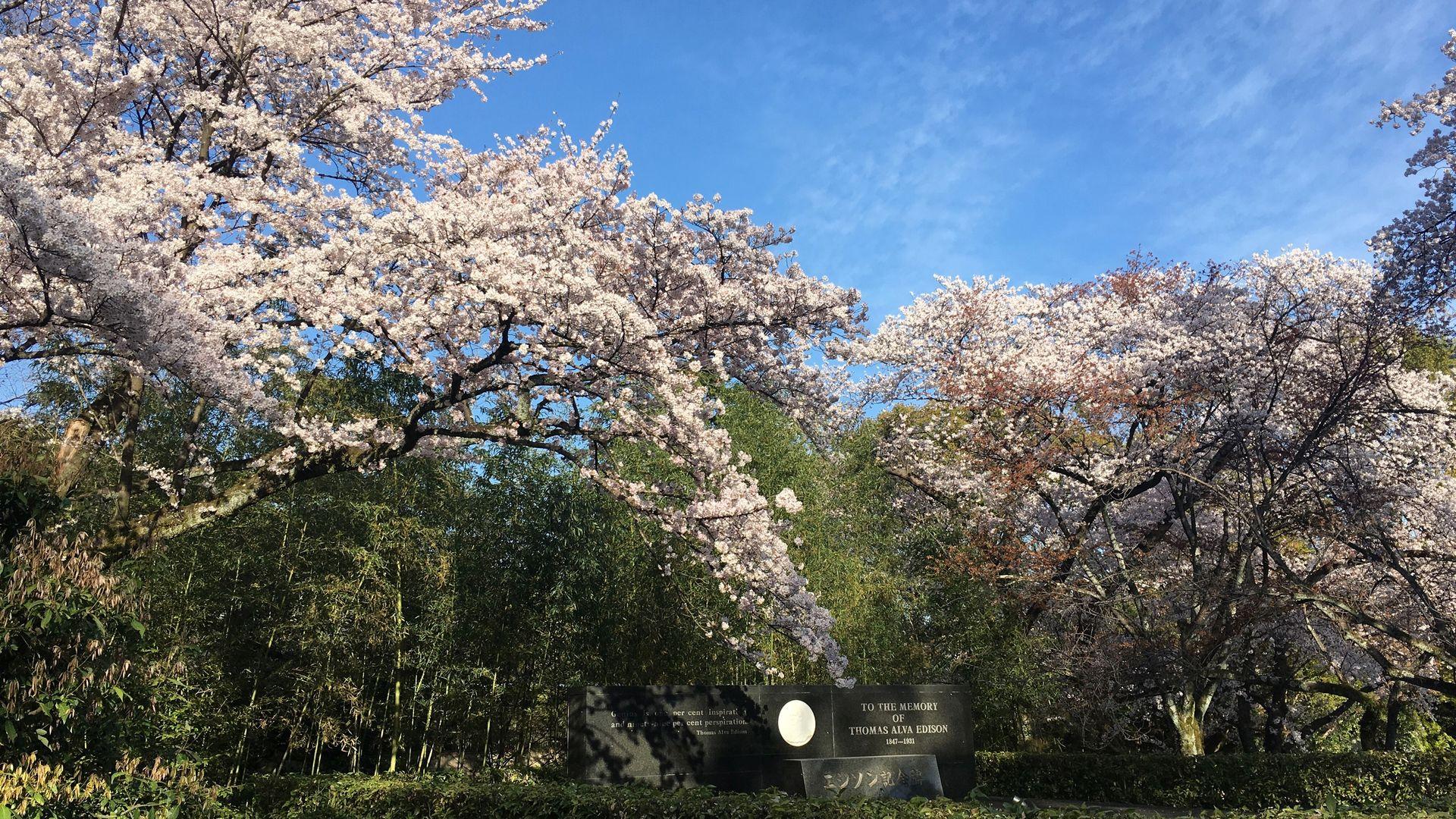 石清水八幡宮の桜6/10