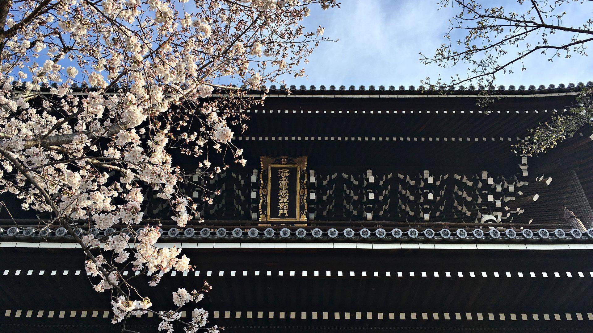 金戒光明寺の桜02