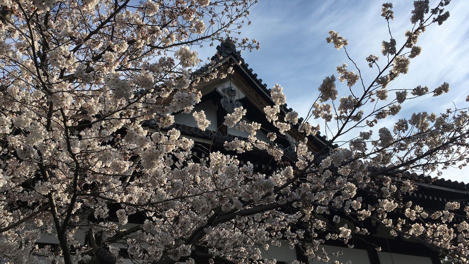 金戒光明寺の桜03