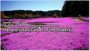 carpet of flowers-01-2_en