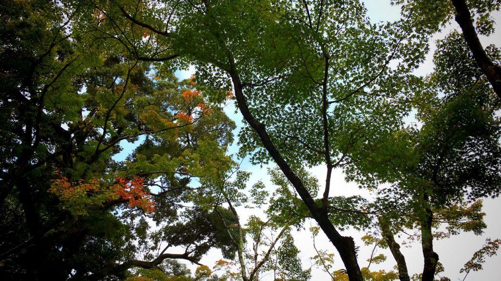 「無鄰菴庭園」楓の木々を仰ぎ見る