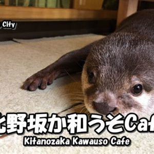 Directions and highlights of Kitanozaka Kawauso Cafe in Kobe City.