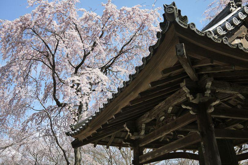 Saigyozakura (Saigyo's cherry tree)