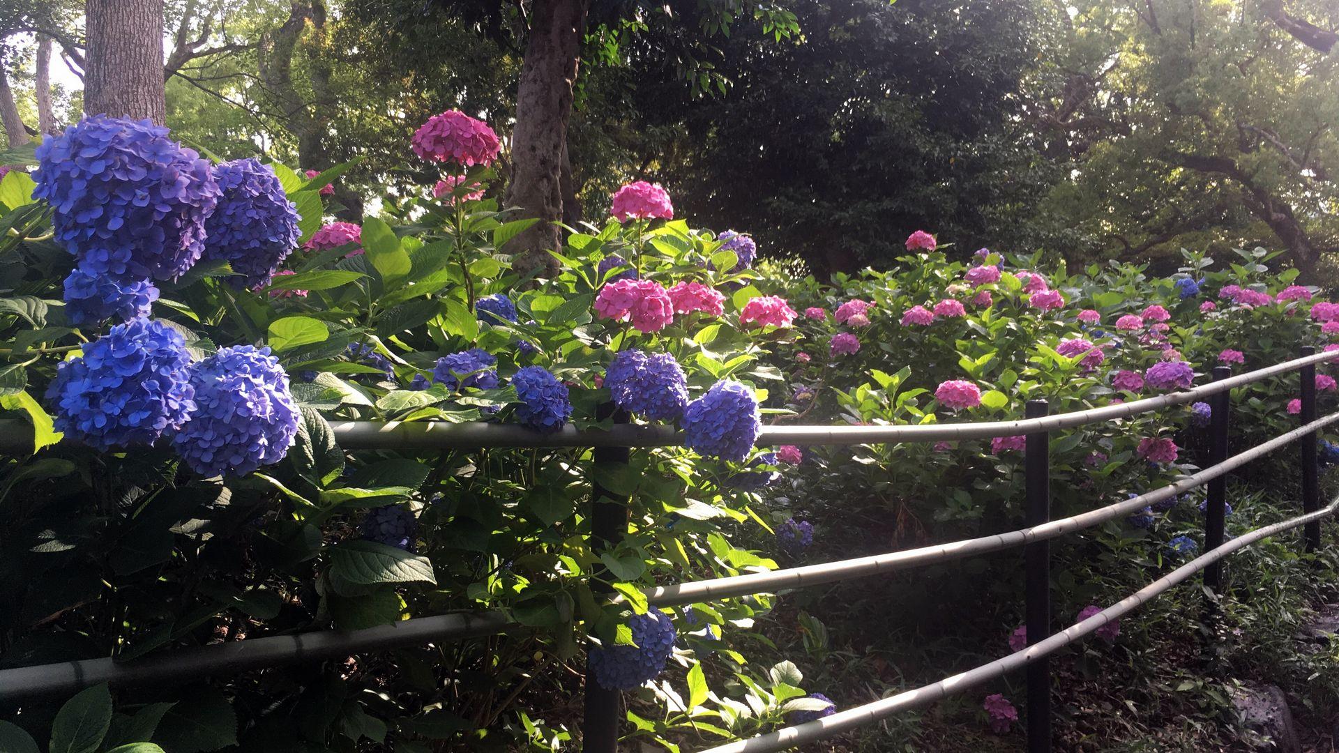 藤森神社の第一紫陽花苑
