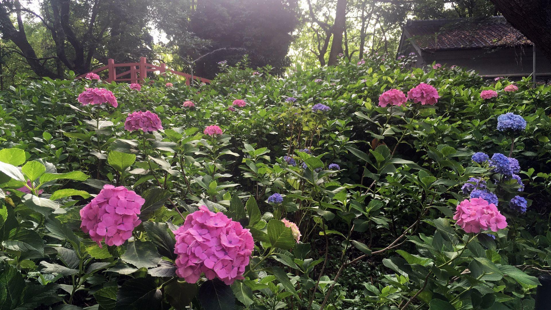 藤森神社の第二紫陽花苑