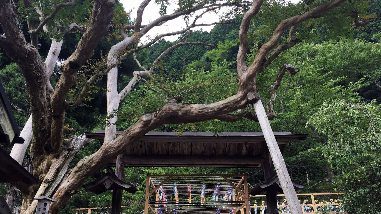 正寿院の百日紅の木