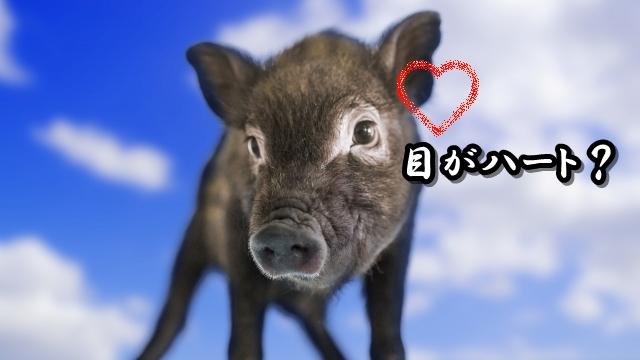 猪の目はハート?