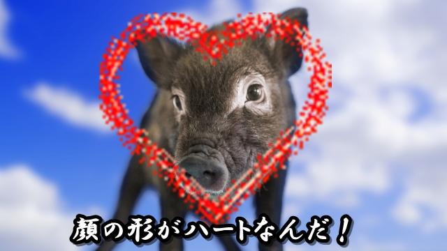 猪の顔がハートなんだ!